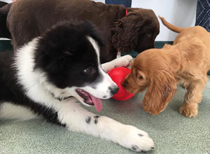 friars moor puppy party - two young dogs and toy