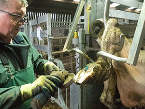 Trimming a cow's foot - training