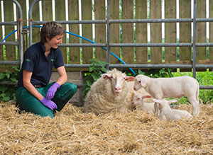 lambing course - ewe lambs and vet