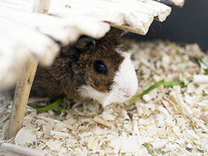 Guinea pig - preventative care is valuable for all kinds of pet