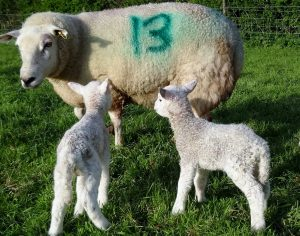 Practical Lambing Course @ Lower Langham Farm