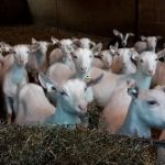 Dairy Sheep & Goat Conference 2018