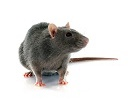 FM-SA-Care-Guide-Rodenticide (Rat Bait) Poisoning