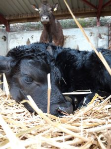 On farm Calving Course @ Leweston Farm