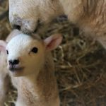 Lambing Course - online